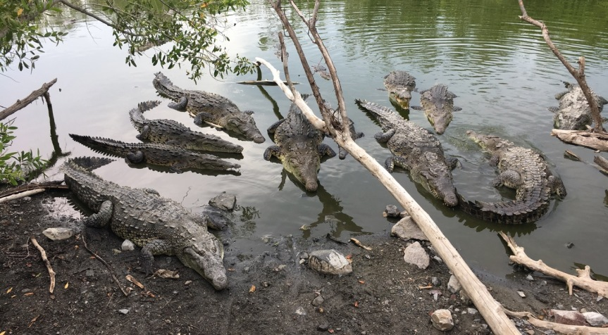 Living Like a Local: Crocodilos Up Close andPersonal